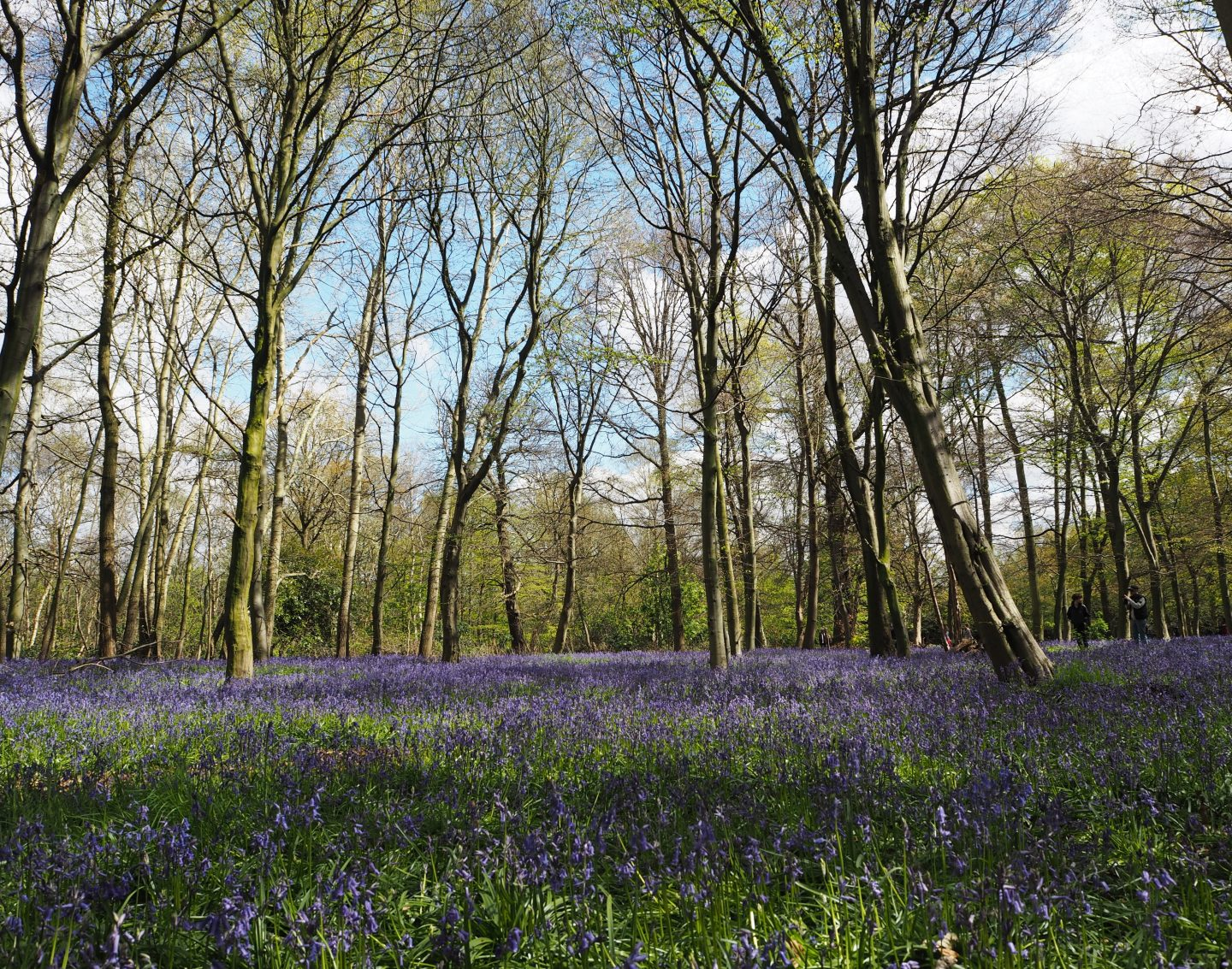 Walking among the bluebells